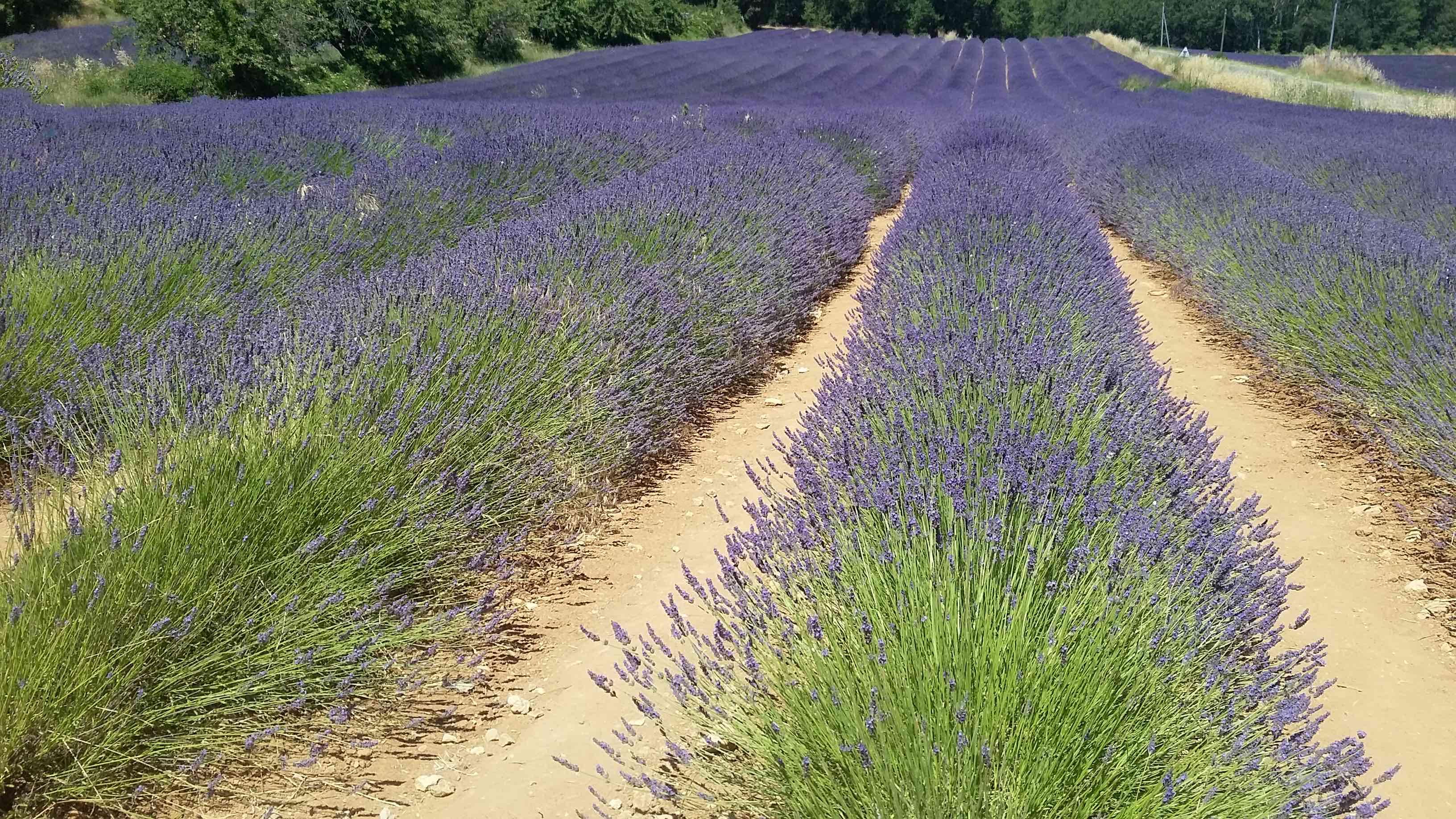 Blühendes Lavendelfeld